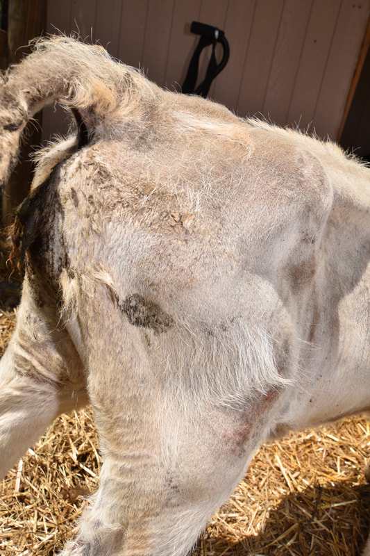 calf abused by Braglio Farms , starving, skinny, emaciated, hoof rot, lice, and wounds.  Animal abuse of calf. Scott Braglio and Roman Braglio.